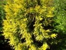 Dzeltenā tūja